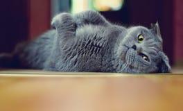 英国猫 免版税库存图片