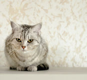 英国猫 免版税图库摄影