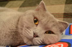 英国猫 库存照片