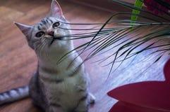 英国猫` s美好的神色 免版税库存图片