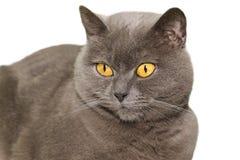 英国猫shorthair 免版税图库摄影