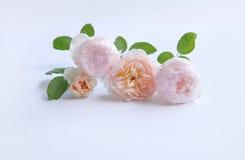 英国玫瑰为华伦泰` s天隔绝了甜点,在葡萄酒白色背景 免版税库存照片