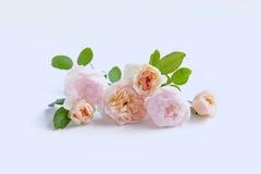 英国玫瑰为华伦泰` s天隔绝了甜点,在葡萄酒白色背景 免版税库存图片
