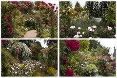 英国玫瑰园 免版税库存图片