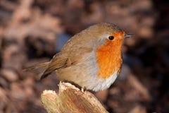 英国画眉知更鸟rubecula 免版税库存图片
