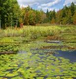 英国百合沼泽新的池塘 库存图片