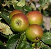 英国的苹果 免版税库存照片