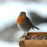 英国知更鸟 免版税库存图片