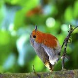 英国知更鸟 库存照片