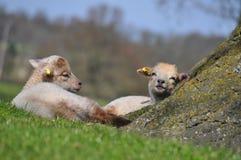 英国羊羔 免版税库存照片