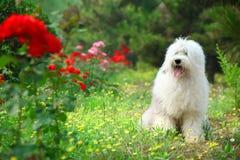 英国老护羊狗 免版税图库摄影