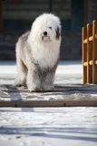 英国老护羊狗 库存图片