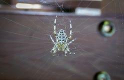 英国花园蜘蛛 库存图片