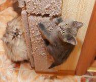 英国蓝色小猫攀登抓岗位 免版税库存照片