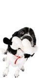 英国西班牙猎狗蹦跳的人年轻人 库存图片