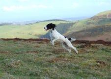 英国西班牙猎狗蹦跳的人 库存照片