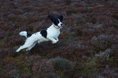 英国西班牙猎狗蹦跳的人 库存图片