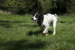 英国西班牙猎狗蹦跳的人 免版税库存图片