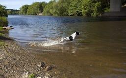 英国西班牙猎狗蹦跳的人 图库摄影