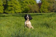 英国西班牙猎狗蹦跳的人 免版税图库摄影