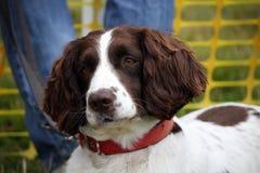 英国西班牙猎狗蹦跳的人 免版税库存照片