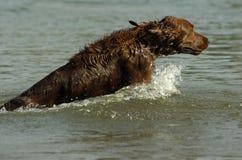 英国赤毛的塞特种猎狗 免版税图库摄影