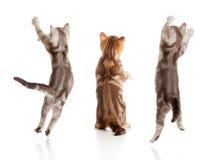 英国跳的小猫后方集合视图 免版税图库摄影