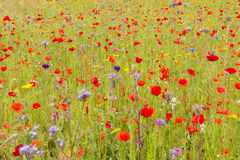 英国野花草甸 库存照片
