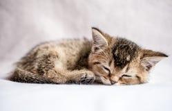 英国金黄黄鼠滴答作响的俏丽的小猫甜甜地睡觉 免版税图库摄影