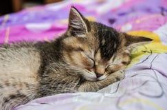 英国金黄黄鼠滴答作响的俏丽的小猫甜甜地睡觉 库存照片