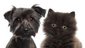 英国长发小猫特写镜头  免版税库存图片