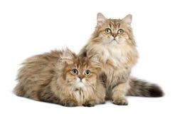 英国长发猫, 4个月,坐 免版税图库摄影