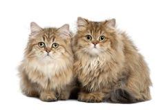 英国长发猫, 4个月,坐 免版税库存图片