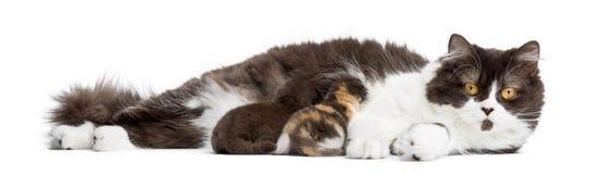 英国长发说谎,哺乳它的小猫,被隔绝 库存图片