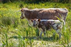 英国长的有角的牛 库存照片