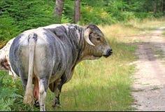 英国长角牛公牛 库存照片