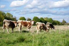 英国长角牛牛在春天 免版税图库摄影