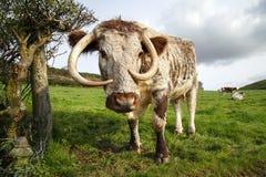 英国长角牛牛 库存照片