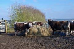 英国长角牛牛 库存图片