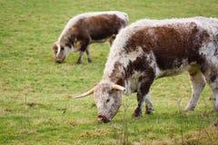 英国长角牛牛 免版税库存图片