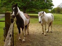 英国马 免版税库存图片