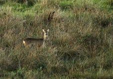 英国鹿母鹿獐鹿 免版税库存图片