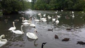 英国,伦敦,天鹅,鸭子,鸽子,湖, 图库摄影