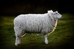英国绵羊侧视图  图库摄影