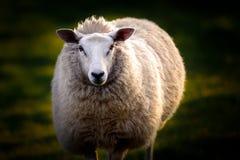 英国绵羊画象  免版税库存照片