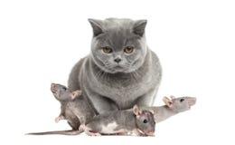 英国Shorthair和三只幼小无毛的鼠 库存图片