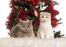 英国Shorthair和苏格兰折叠小猫 库存图片