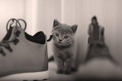 英国Shorthair婴孩和一双鞋 库存照片