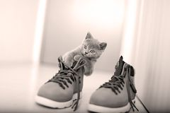 英国Shorthair婴孩和一双鞋 免版税库存照片