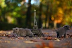 英国Shorthair小猫和游览埃菲尔 库存照片